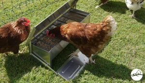 Chickens eating out of metal feeder on grass