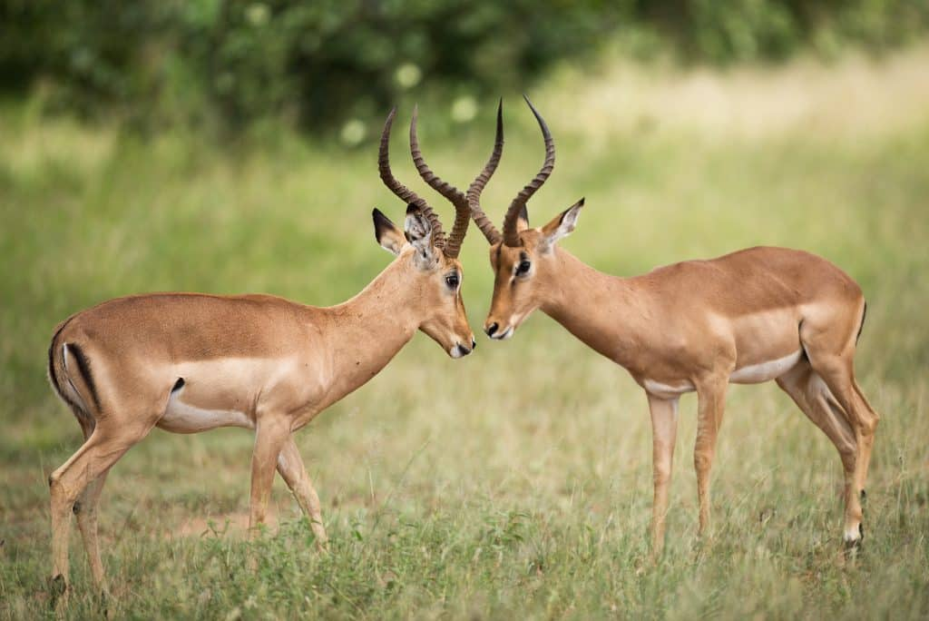 2 antelope locking horns