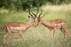 2 antelope locking horns