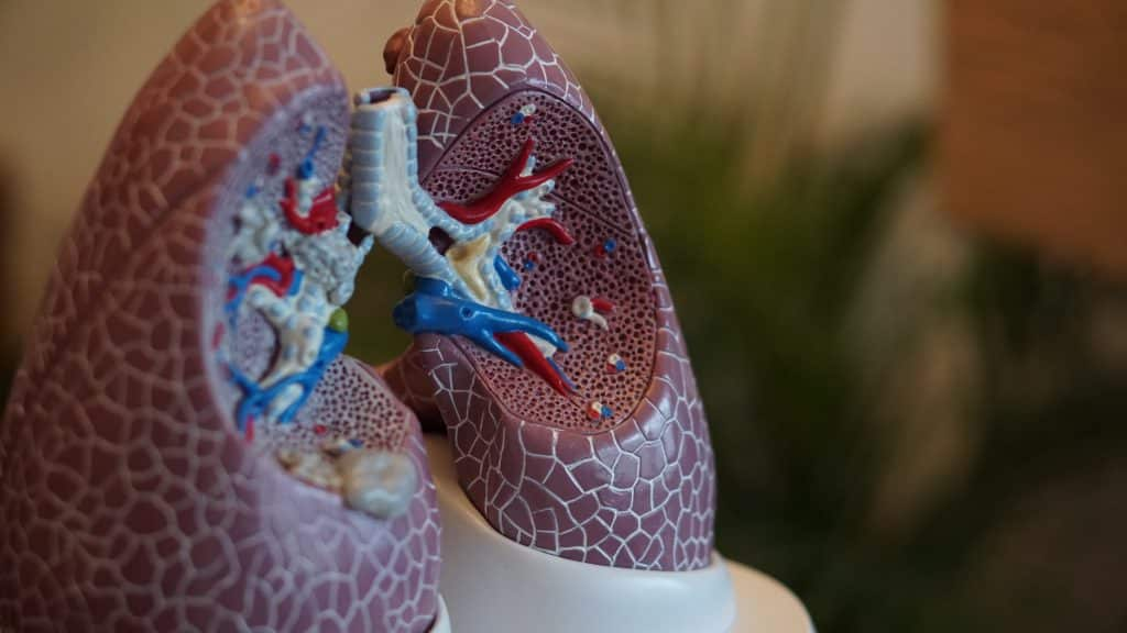 anatomy model of lungs